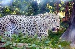 persian-leopard-2.jpg