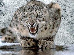 persian-leopard-4.jpg